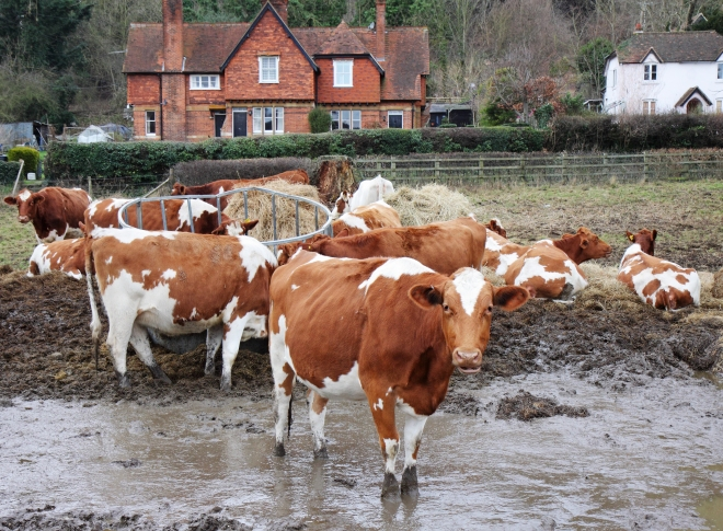 Cows in Muddy Field