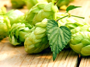 Hops used to produce beer
