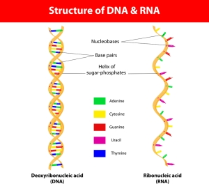 The Structure of DNA and RNA