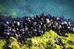 mussels on rock