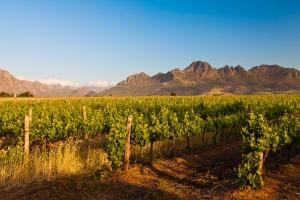 Stellanbosch vineyard