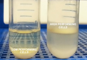 Yeast cells producing high or low amount of lipids