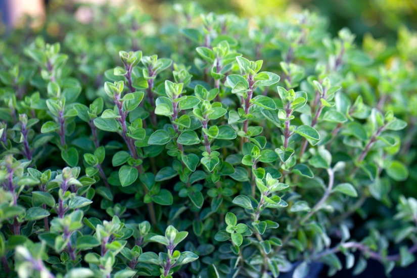 Using oregano as an antibacterial agent (Day 346)